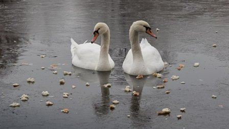Лебеди вернулись с зимовки на Барашкинский пруд в Химках